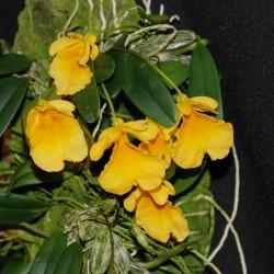Dendrobium jenkinsii (mounted)