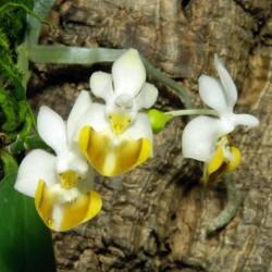 Phalaenopsis lobbii f. flava (PHAL048)