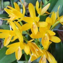 Guarianthe aurantiaca f. flava