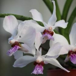 Vandoglossum (Vanda 'Bayrisch Blau' x Holcoglossum wangii)