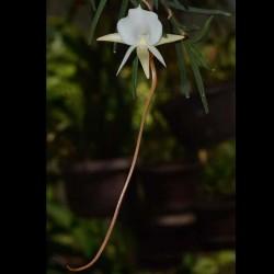 Angraecum pseudofilicornu