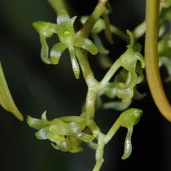 Rhipidoglossum tanneri