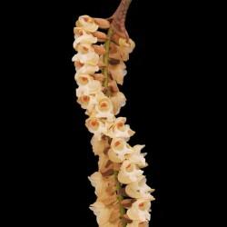 Pholidota imbricata
