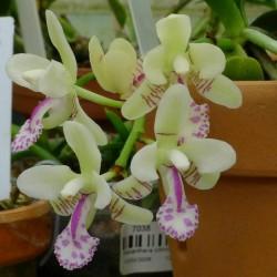 Phalaenopsis japonica (syn. Sedirea japonica)