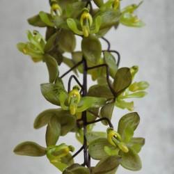 Cirrhaea longiracemosa