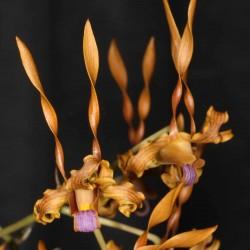 Dendrobium tangerinum