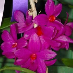Dendrobium glomeratum