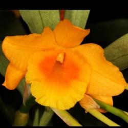 Dendrobium chryseum