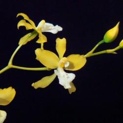 Cyrtochilum umbrosum (yellow/white)