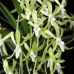 Neofinetia falcata (NEOF014, 'Hisui' x sibling)