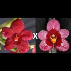 Sarcochilus Kulnura Ballerina (= Kulnura Dazzel 'Deep velvet' x Bunyip 'Forest Fruit')