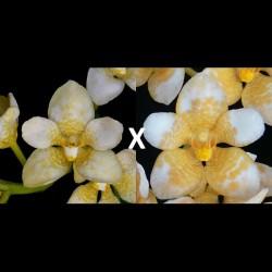 Sarcochilus Kulnura Khaleesi (= Kulnura Kaleidescope 'Frangipani' x Roberta 'Good Yellow')