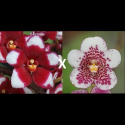 Sarcochilus Kulnura Momentum (= Kulnura Spice 'Halo' x Sweetheart 'Speckles')