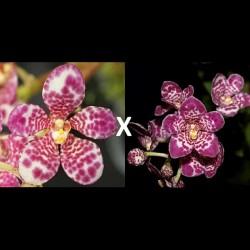 Sarcochilus Kulnura Roundup 'Multi Spot' x Kulnura Secure 'Shapely'
