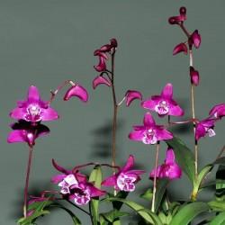 Dendrobium kingianum (DEN124) ('Inferno' AM/AOS  x 'Karl Marx' AM/AOS)