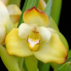 Maxillaria molitor