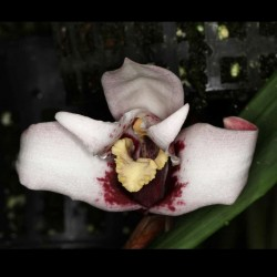 Maxillaria sanderiana