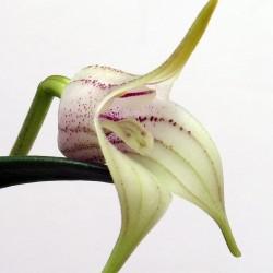 Masdevallia coriacea (Colombia)