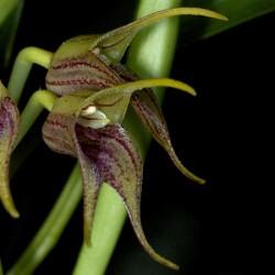 Masdevallia coriacea (Peru)
