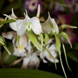 Angraecum eburnuem subsp. xerophilum