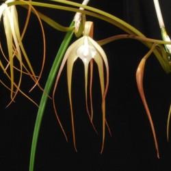 Brassavola cucullata (BRS009)