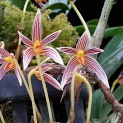 Bulbophyllum affine (BULB028)