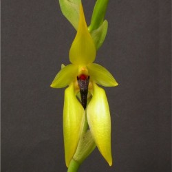 Bulbophyllum carunculatum (BULB017)