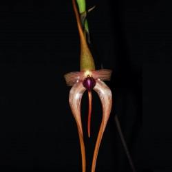 Bulbophyllum echinolabium (BULB018)