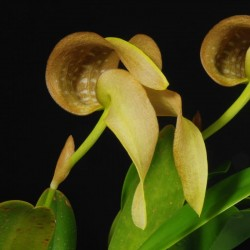 Bulbophyllum grandiflorum (BULB025)